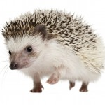 Hedgehog-3